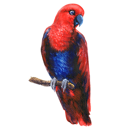Roter eclectus Papagei auf Zweig, bunte exotische Vogelfrau, isoliert, handgezeichnete Aquarellillustration auf weißem Hintergrund