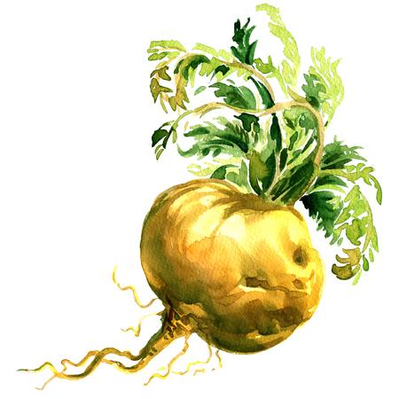 Fresh maca root, Lepidium meyenii, Peruvian Ginseng, Peru superfood plant, isolated, hand drawn watercolor illustration on white background