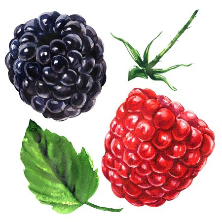 Ripe juicy raspberry and blackberry with leaf and stem, fresh organic berries isolated, hand drawn watercolor illustration on white background