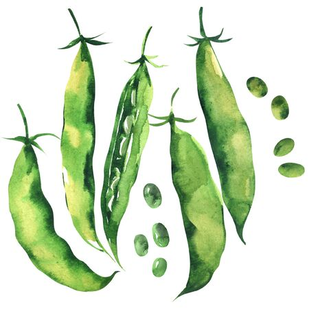 Fresh sweet green pea pod, peas, young sugar snap peas, isolated, hand drawn watercolor illustration on white background