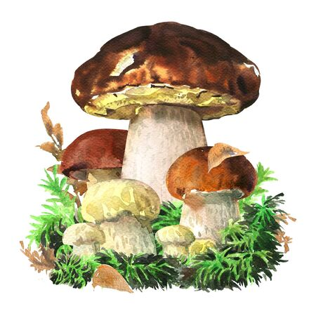 Group of forest edible boletus edulis mushrooms, king bolete, cep in the woods close up, porcini mushroom isolated, close up, hand drawn watercolor illustration on white background