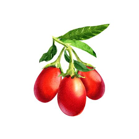 Branch of ripe goji berries with leaves, isolated, hand drawn watercolor illustration on white background