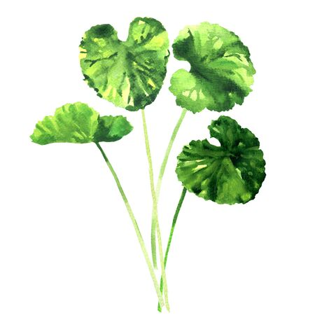 Green gotu kola leaves, Centella asiatica, asiatic or indian pennywort, Herbal Thankuni leaf, herb and medicinal plant, closeup, isolated, hand drawn watercolor illustration on white background