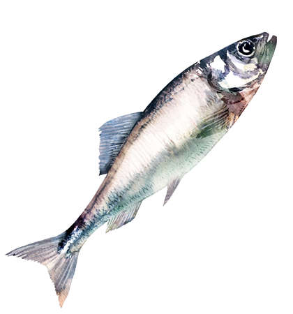Herring fish isolated, marine food fish, whole fresh saltwater fish, seafood, close-up, hand drawn watercolor illustration on white background
