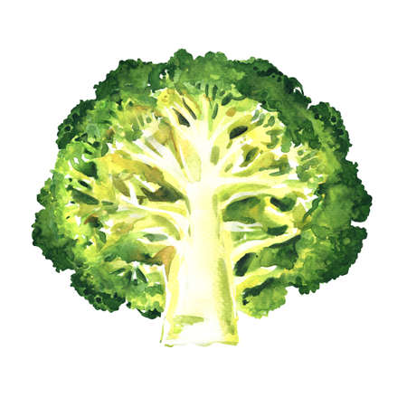 Green broccoli cut in half isolated, fresh vegetable, close-up. Organic vegetarian food, natural ingredient, package design element, hand drawn watercolor illustration on white