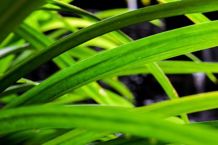 pandanus: Pandan show green stripes beautyful