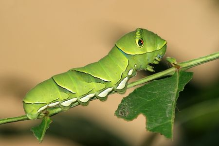 Butterfly Larvae  Stock Photo