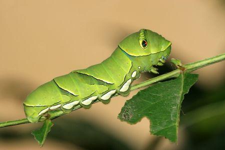 Butterfly Larvae Standard-Bild - 4319533