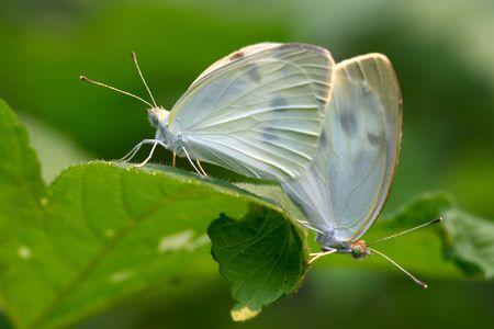 pieris: Mating white Pieris