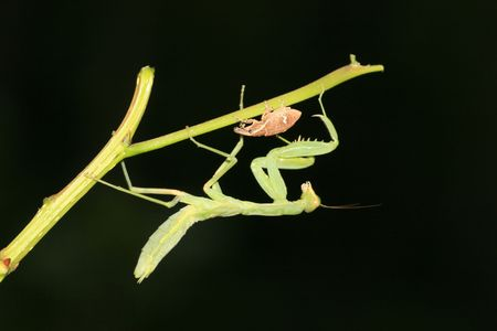 beneficial insect: Mantis with weevil Stock Photo