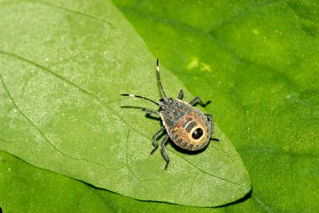 beneficial insect: Insects