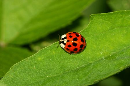 beneficial insect: Ladybug