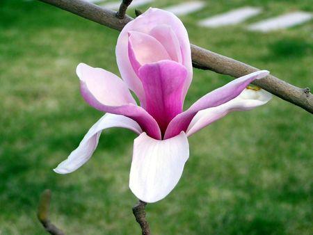 florets: Purple Magnolia     Stock Photo