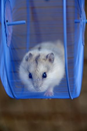 parotid: Hamsters Stock Photo