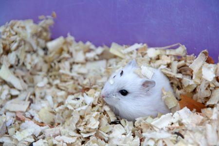 hamsters: Hamsters Stock Photo