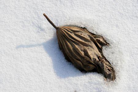 lotus leaf: dry lotus leaf In the snow