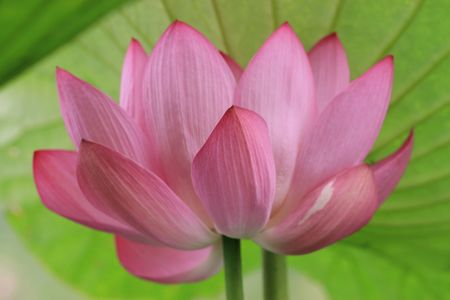 color photography: Lotus