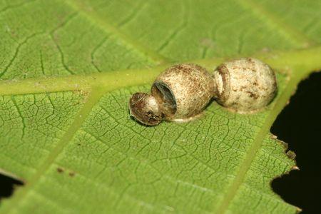 eggshell: Spider eggshell