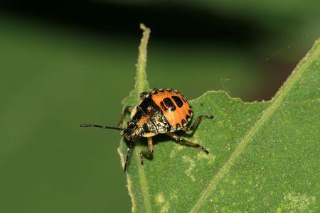 pentatomidae: Stinkbug