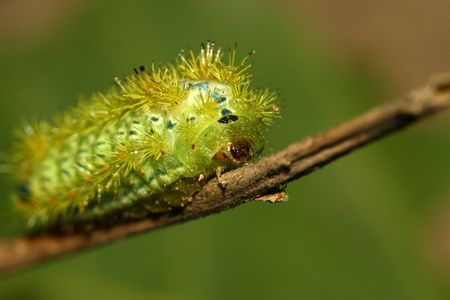 larvae: green postornata larvae Stock Photo