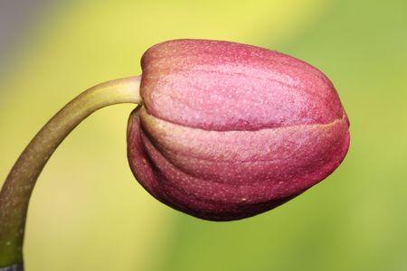 phalaenopsis Stock Photo - 4411897