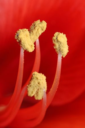 stamens: tipped stamens Macro Photography