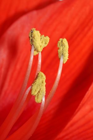 tipped stamens Macro Photography photo