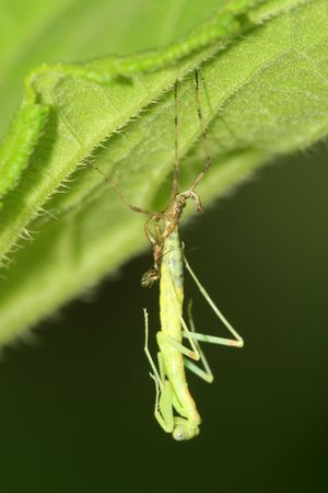 molting: the molting mantis Stock Photo
