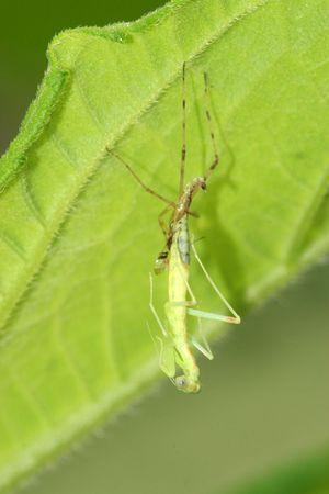 beneficial insect: the molting mantis Stock Photo