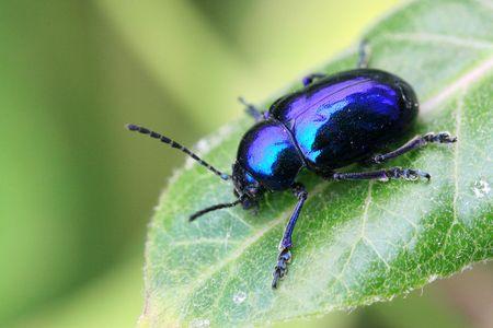Dark blue beetle Banque d'images