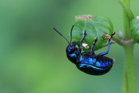 Dark blue beetle Banco de Imagens