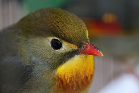 leiothrix: Red-billed Leiothrix.