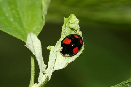 beneficial insect: ladybug Stock Photo