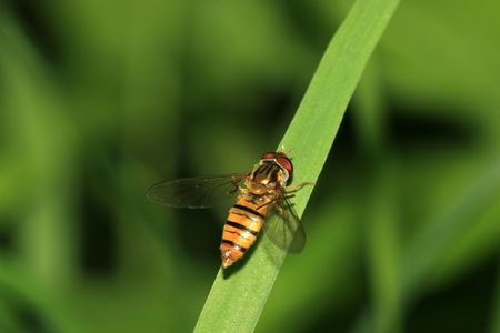 beneficial insect: syrphidae