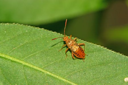 beneficial insect: Stinkbug