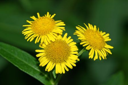 inula Stock Photo