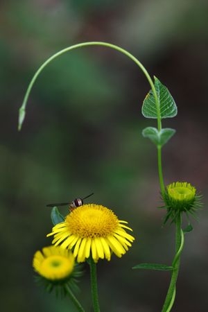 spent: inula Stock Photo