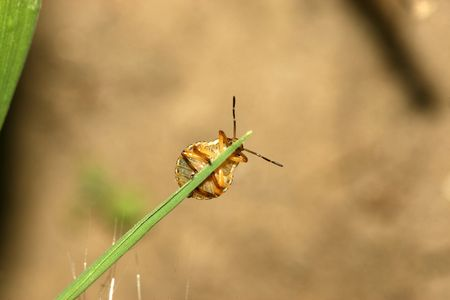 beneficial insect: stinkbug Stock Photo