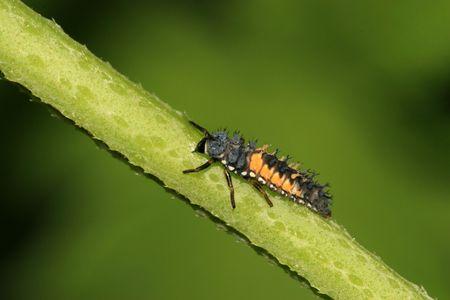 larvae: ladybug larvae