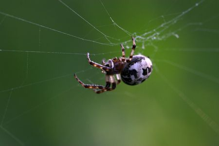 beneficial insect: spider