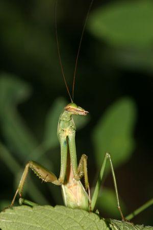 gottesanbeterin: mantis Lizenzfreie Bilder