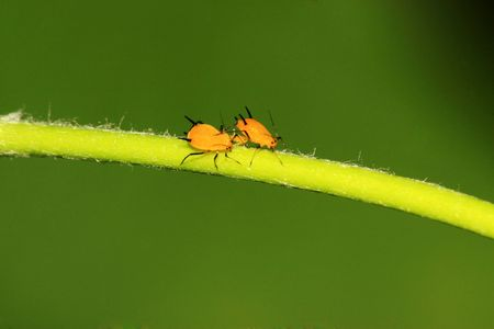 aphid: aphid