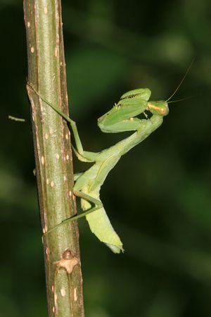 mantis: mantis Stock Photo