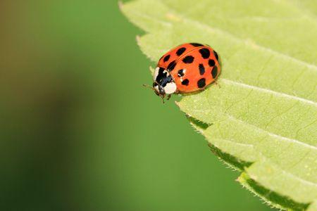 ladybug Banco de Imagens