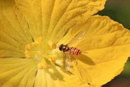 syrphidae insects Stock Photo - 4786531