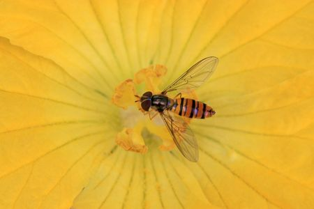 beneficial insect: syrphidae insects