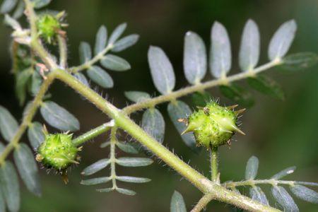 zygophyllaceae plant Stock Photo