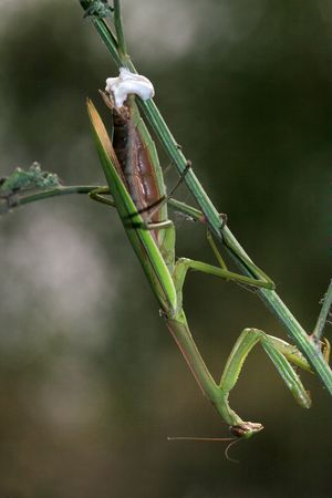 beneficial insect: mantis Stock Photo
