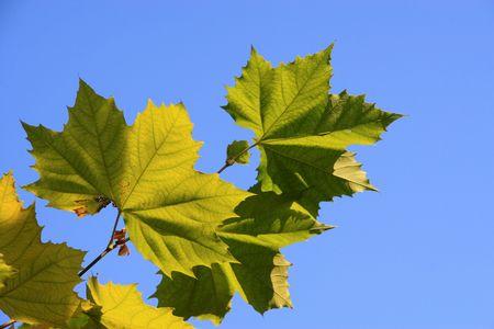 backlighting: platanus leaves Stock Photo