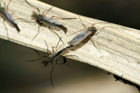 culicidae: mosquito Stock Photo